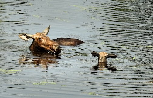 Mama Moose and her youngster. Photo courtesy of Bearskin Lodge.