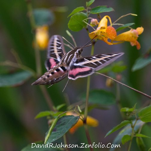 Hummingbird moth by David Johnson.