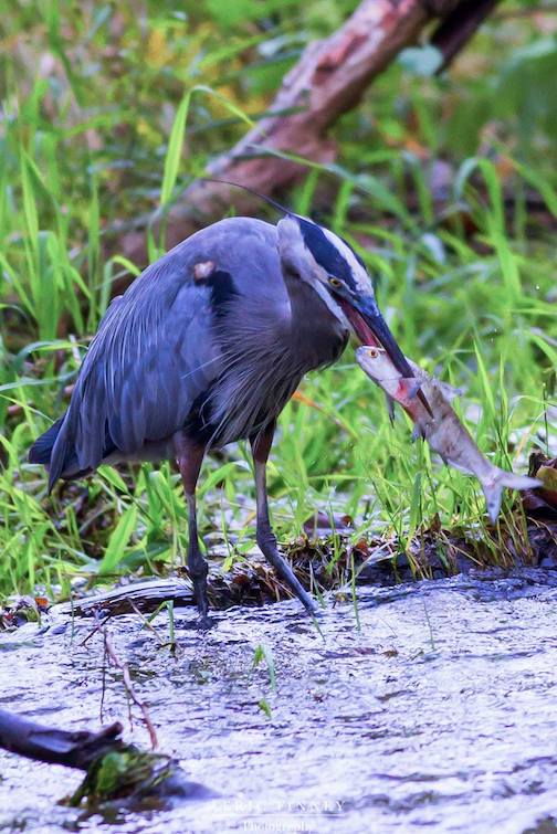 Great Blue Heron by Eric Finney.