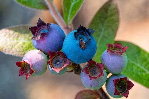 Late blueberries at Tettegouche by Jim Schnortz.