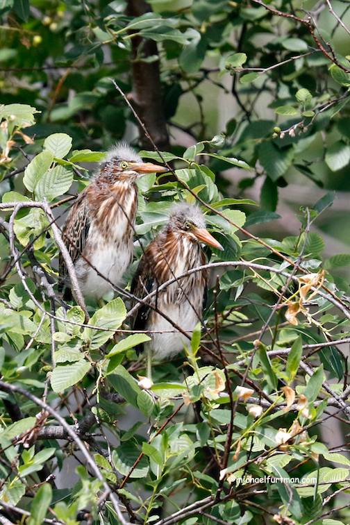 Green heron youngsters by Michael Furtman.