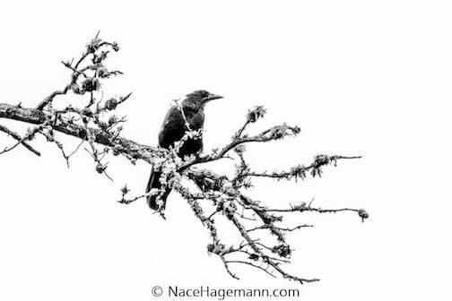 """Raven"" by Nace Hagemann."