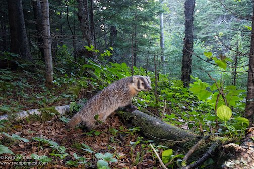 American badger in Tettegouche State Park by Ryan Pennesi.