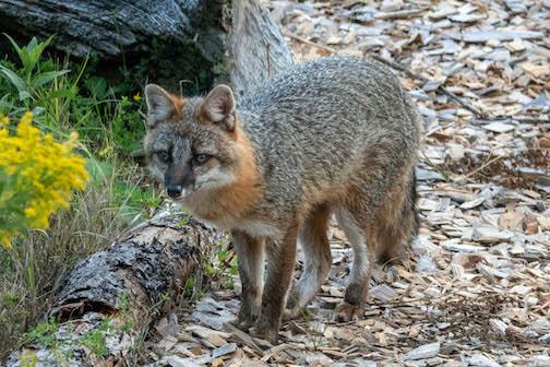 Gray fox by Janice Made.