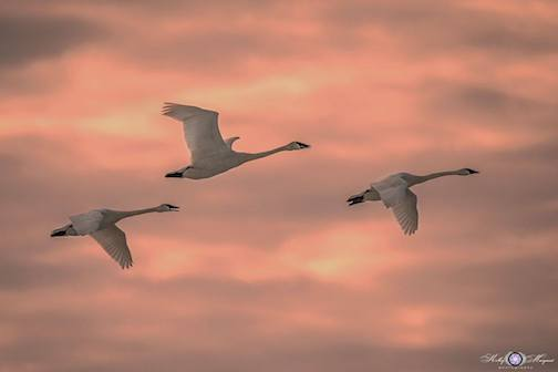 Trumpeter Swans by Kelly Marquart.