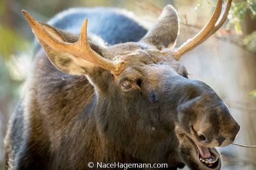 Moose talking by Nace Hagemann. This is the young moose pictured in the photo just before this one.