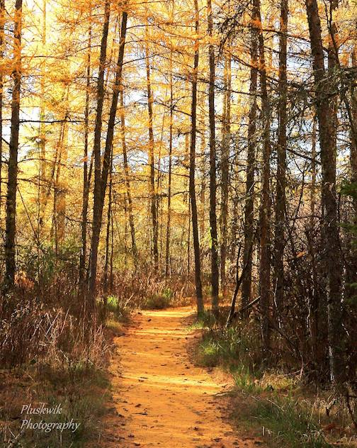 Trail through the tamaracks. Photo by Paul Pluskwik.
