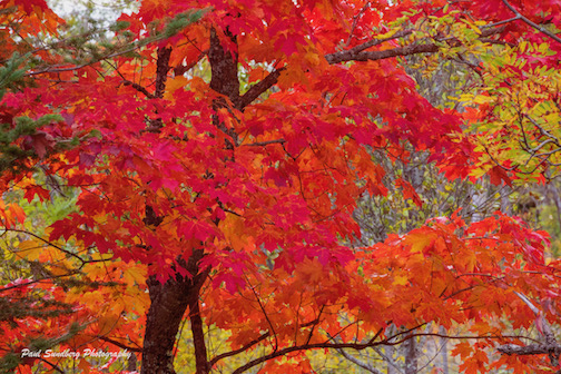 Red Maple by Paul Sandberg.