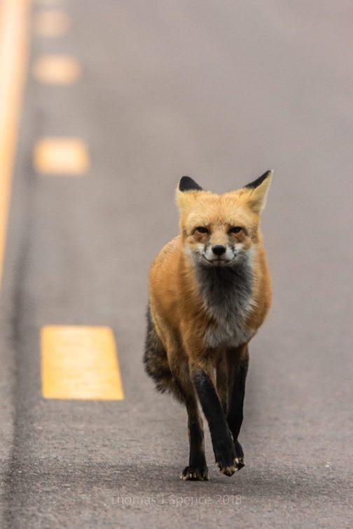 """Sometimes wildlife chases you. Fox get used to people feeding them at campsites and along the road. Don't do that."" Photo and comment by Thomas Spence."