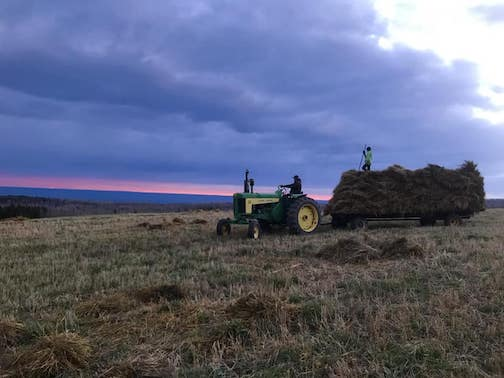 Harvesting barley at sunset by