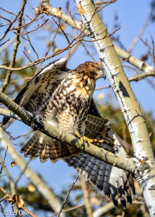 Red Tail Hawk, stretching in a tree in Knife River by Edward Lee.
