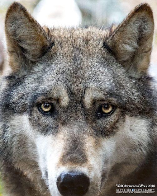 Ambassador Wolf, Boltz, at the International Wolf Center in Ely. Photo by Heidi Pinkerton.