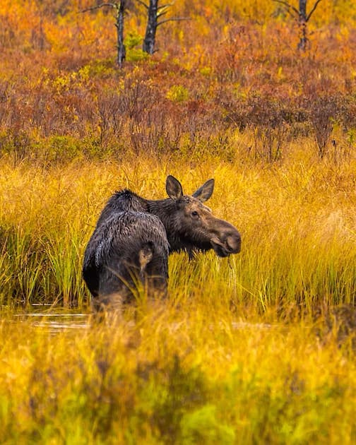 Moose in golden grasses by Jeffrey Doty.