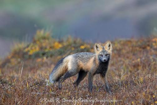 Cross fox... variant of a Red Fox by Keith Crowley.
