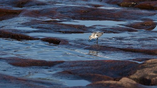 Lesser Sandpiper getting a drink by Mark Tessier.