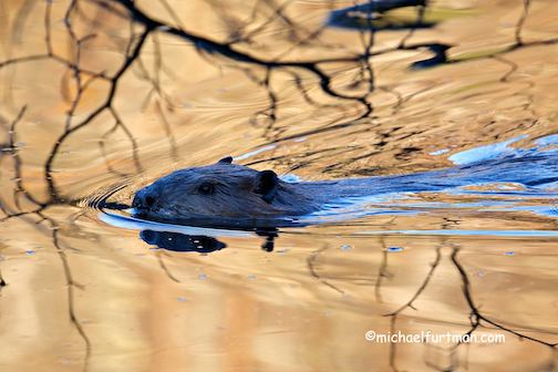A beaver and a golden pond by Michael Furtman.