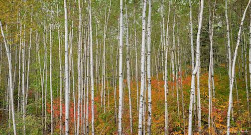 Birch stand on the way to Ely by Micheal Woodward.