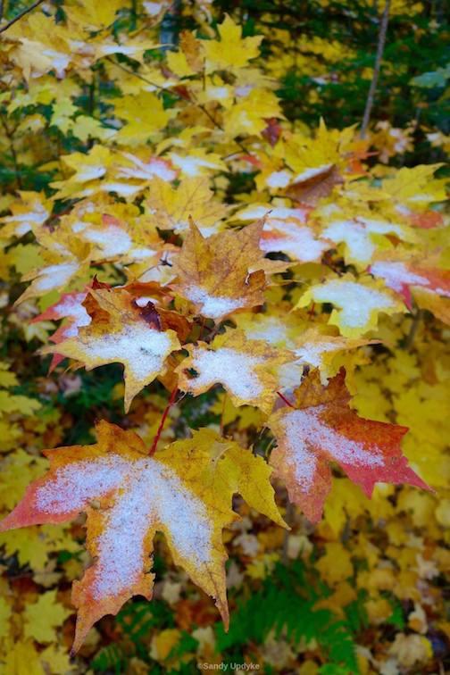 Snowy leaves by Sandra Updike.