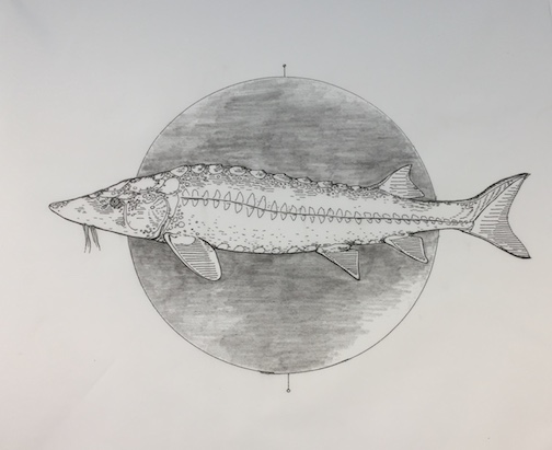 One of the drawings of the lake sturgeon currently on view in the Founders Hall at the Art Colony.
