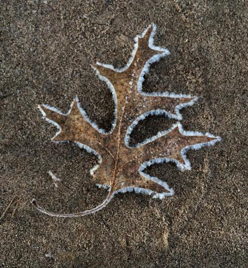 Frosty oak leaf by Charmaine Wistad.