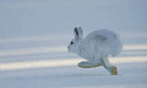 Snowshoe hare by Dan Newcomb.