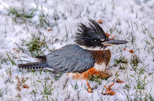 Belted Kingfisher at Silver Creek by Edward Lee.