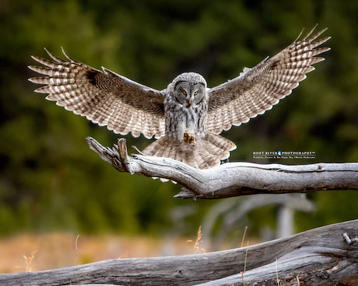 Juvenile Great Gray Owl by Heidi Pinkerton.