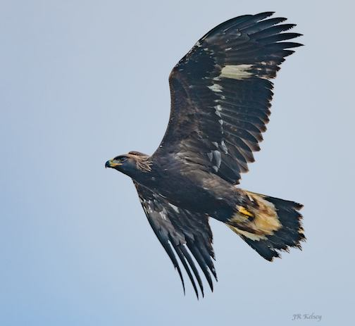 Golden eagle migrating through Hawk Ridge, Duluth by John R. Kelsey.