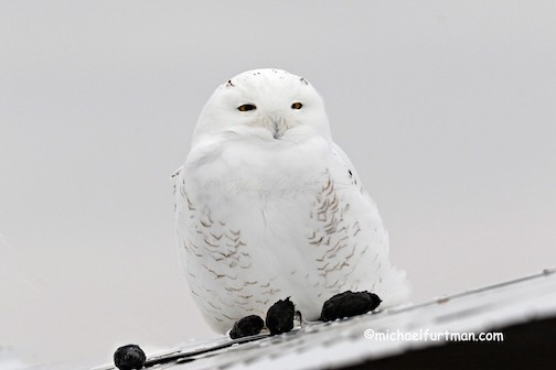 An early Snowie Owl on the North Shore by Michael Furtman.