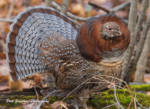 A rare cinnamon ruffed grouse by Paul Sundberg.