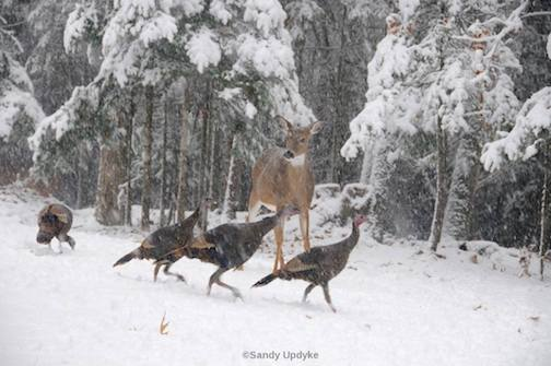 Turkeys are heading north, too. An inquisitive deer checks out these birds. The photo was taken in Michigan by Sandra Updike.