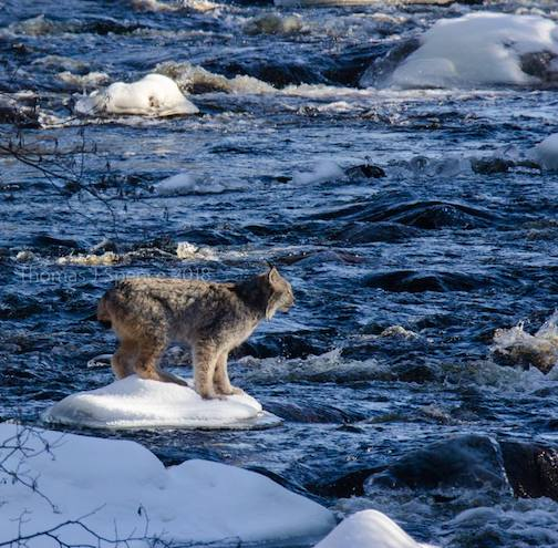 A Canada lynx contemplates a creek crossing by Thomas Spence. Spence noted that the lynx changed its mind and went further up stream to cross it without having to swim.