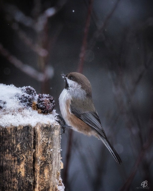 Boreal chickadee by Angela Botner.