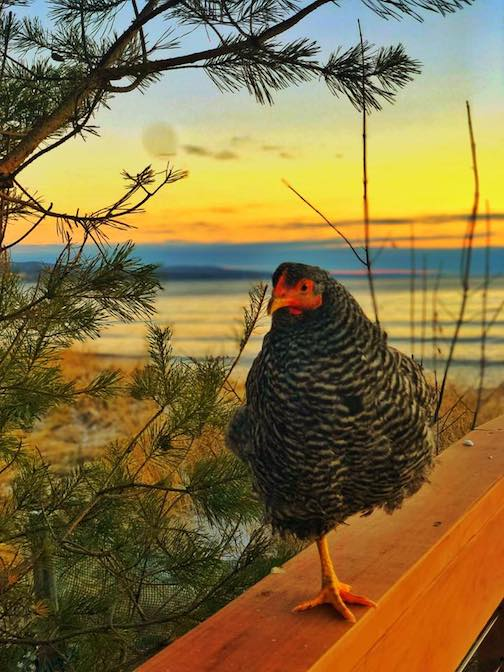 Chicken at sunrise by Doug Determan's daughter.
