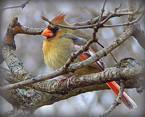 Lady Cardinal .. A bit camouflaged in the woods.