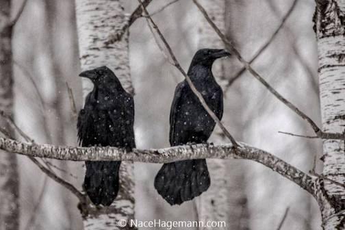 Ravens by Nace Hagemann.