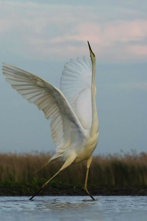 Dance of the Great Egret by Philippe Rouyer. Rouyer is based in France.