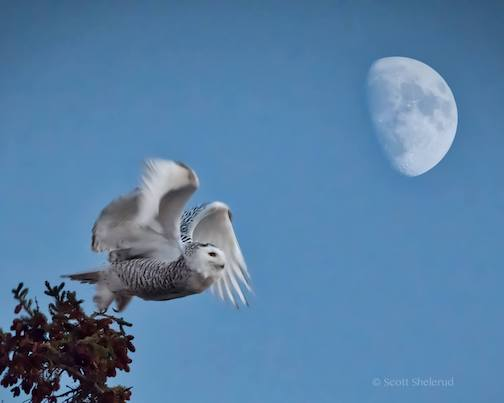 Another shot from the owling adventure ... female snowy owl by Scott Shelerud.