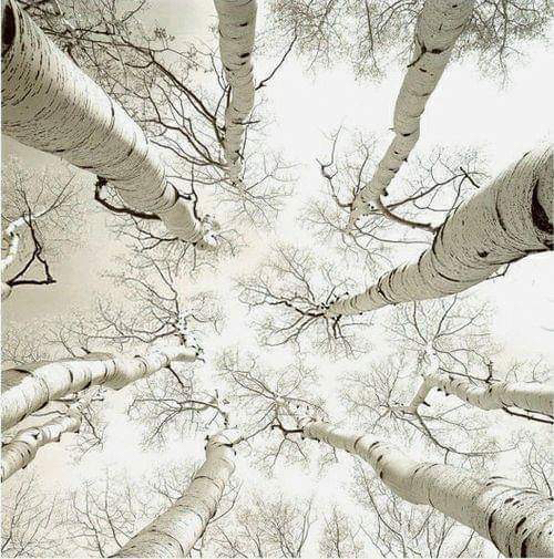 Winter birches by Adam Brock.