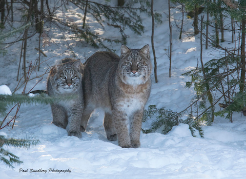 Bobcat Momma and kitten by Paul Sandberg.