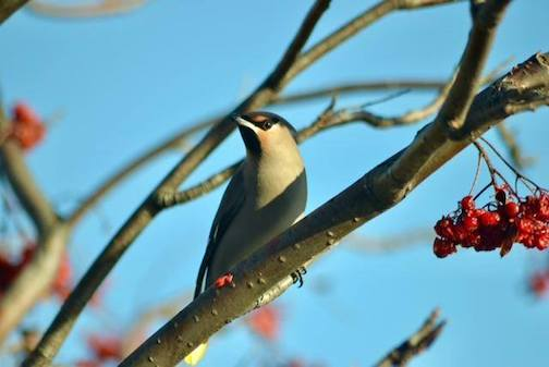 Bohemian waxwing by Tom Berg.