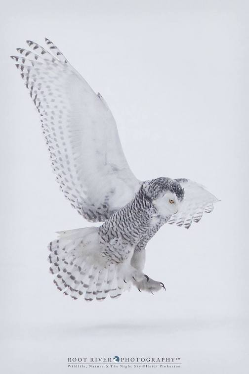 Snowy Owl hunts in the Sax-Sim Bog by Heidi Pinkerton.