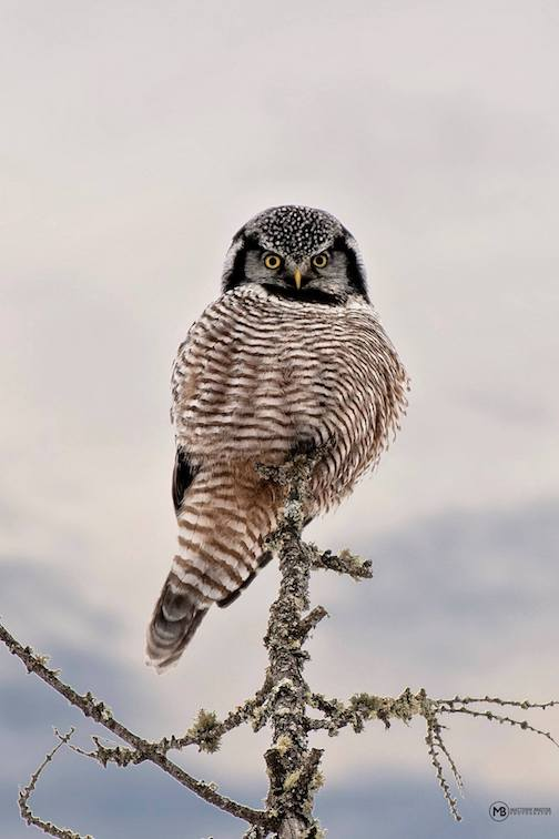 Northern Hawk Owl by Matthew Breiter.