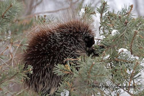 Piikkisika. Porcupine by Michael Furtman.