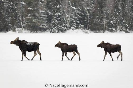 Moosing crossing a frozen lake by Nace Hagemann.