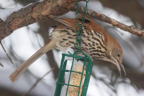 You never know what will show up at your feeders by Thomas Spence. (This is a brown thrasher.)