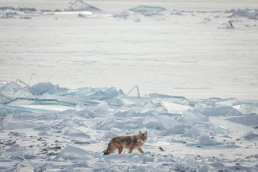 Wolf crossing the ice at Two Harbors.