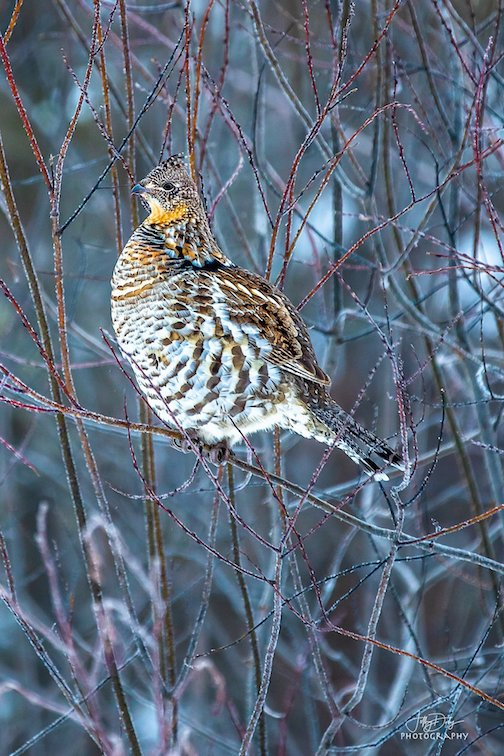 Spruce grouse in the Sax Sim Bog by Jeffrey Doty.