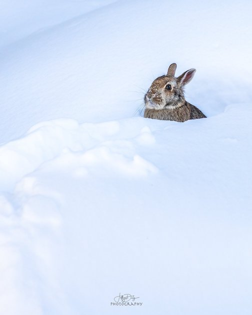 Bunny in snow by Jeffrey Doty.