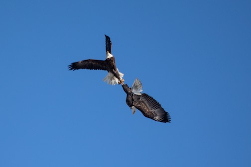 Eagles locking talons in a spring ritual. Photo by Thomas Demma, taken at the DNR Eagle Cam site near the Twin Cities.